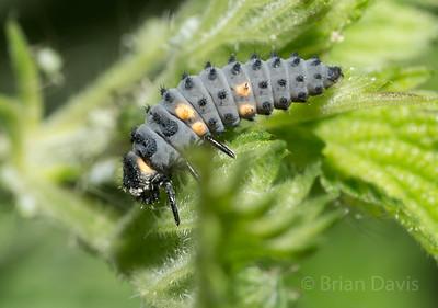 Seven Spot Ladybird Larva