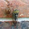 Plains Cicada