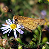 Fiery Skipper On Yard Aster