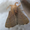 Forest Tent Caterpillar Moth View 2