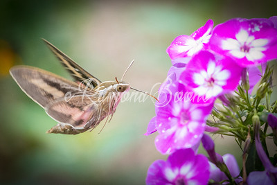Sphinz Moth and Phlox
