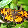 Beautiful Pearl Crescent