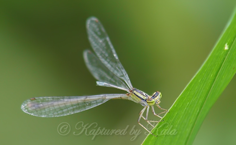 Female Orange Bluet View 2