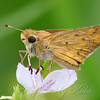 Little Fiery Skipper