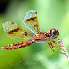 Female Eastern Amberwing