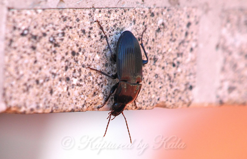 Woodland Ground Beetle