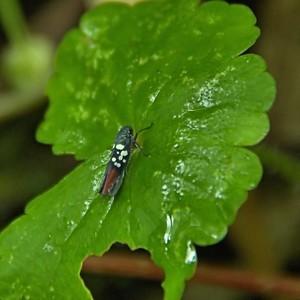 Cicadellidae -  Graphocephala albomaculata - Leafhopper