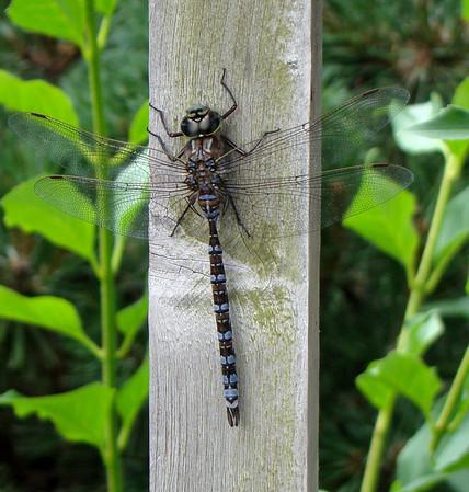 Dragonfly, Darner