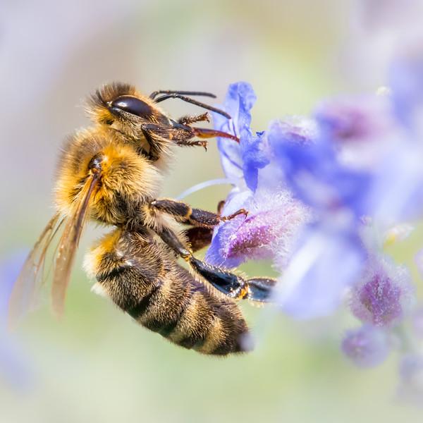 Honey bee on Russian Sage