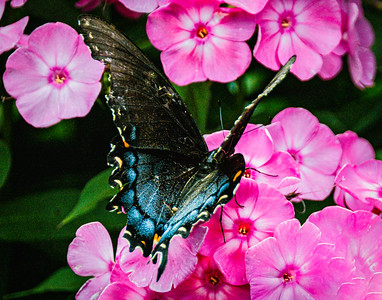 Tiger Swallowtail Butterfly, female