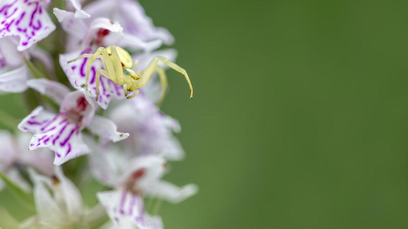 Goldenrod Crab Spider ♀ / Misumena vatia ♀ / Gewone kameleonspin ♀ (krabspin)