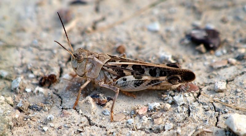 Male Wrinkled Grasshopper