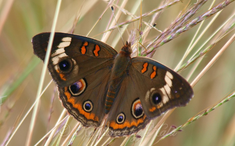 Common Buckeye On Prairie Grasses
