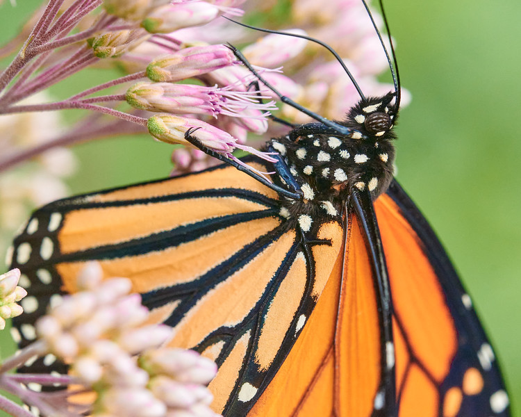Monarch Butterfly suspended on Joe Pye Weed