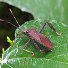 Another leaf-footed bug