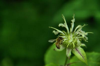 Bee on a Bee Balm