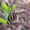 Zebra Longwing caterpillar laying eggs