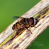 Flower Fly Macro