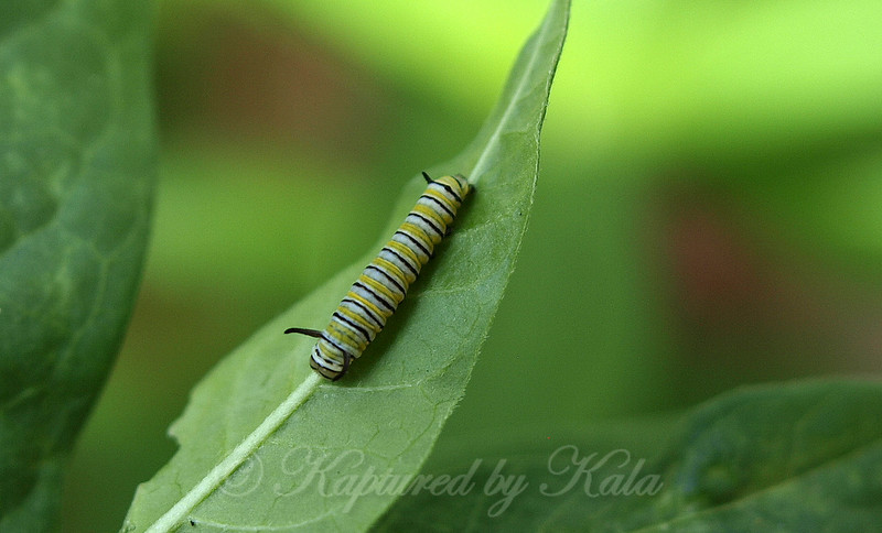 Close-up of a 6 day old Monarch Caterpillar
