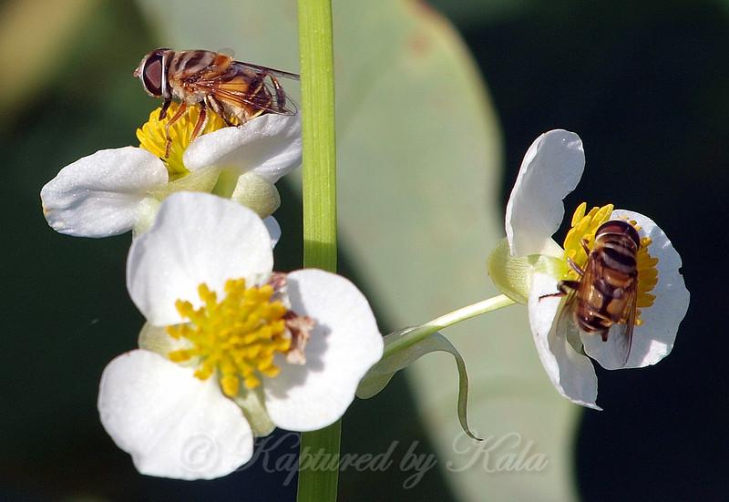 Flower Flies View 1