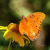 Gulf Fritillary At The Heard
