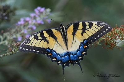 Female Tiger Swallowtail in north Alabama