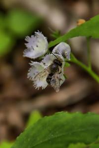 Bee on Fringed Phacelia