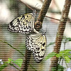 Two Paper Kite butterflies mating