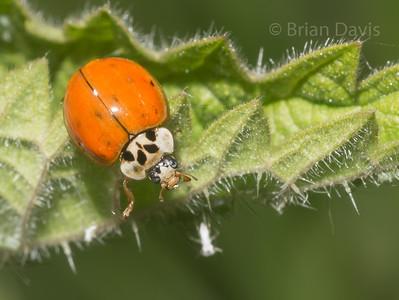 10 Spot Ladybird 3