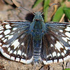 Checkered Skipper Close Up
