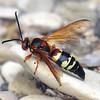 Cicada Killer #2