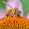 Honeybee on Purple Coneflower Echinachea