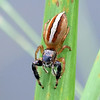 1 New Jumping Spider_filtered and tweaked