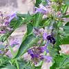 Purple Flowers & Long-horned Bee