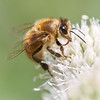 Honeybee on Rattlesnake Master