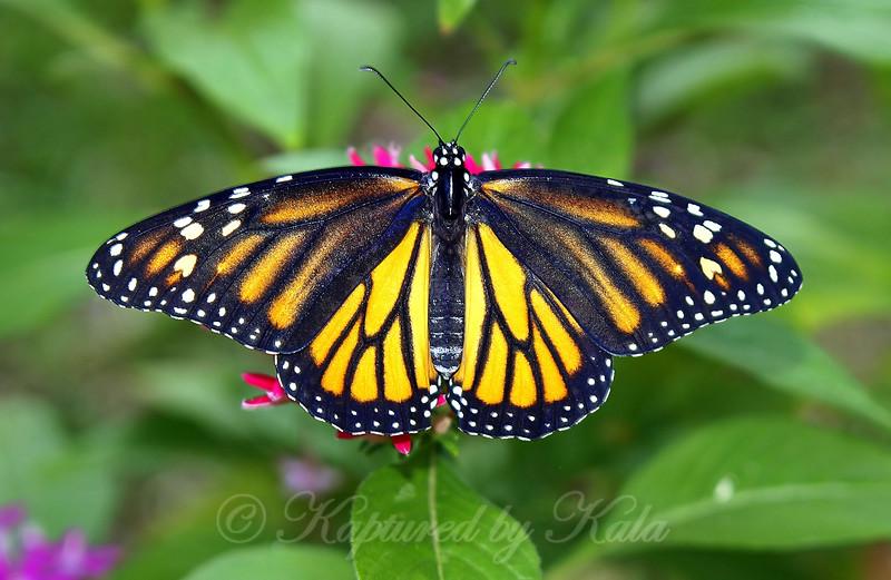 Unusual Female Monarch I Raised