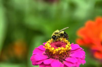 Bees on Zinnia