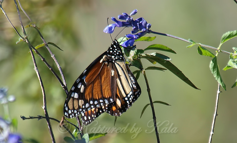 Monarch On Blue Sage At The Heard
