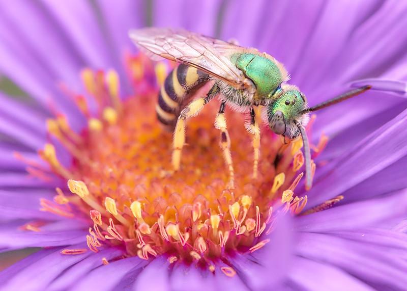 Green Halactid bee  on Aster