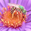 Green Halactid bee  on Aster