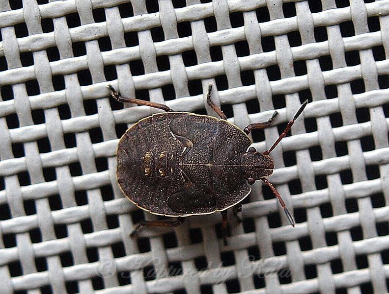 Elf Shoe Stink Bug Nymph
