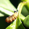 Hoverfly pupa, Part 3 of 3 in the milkweed story