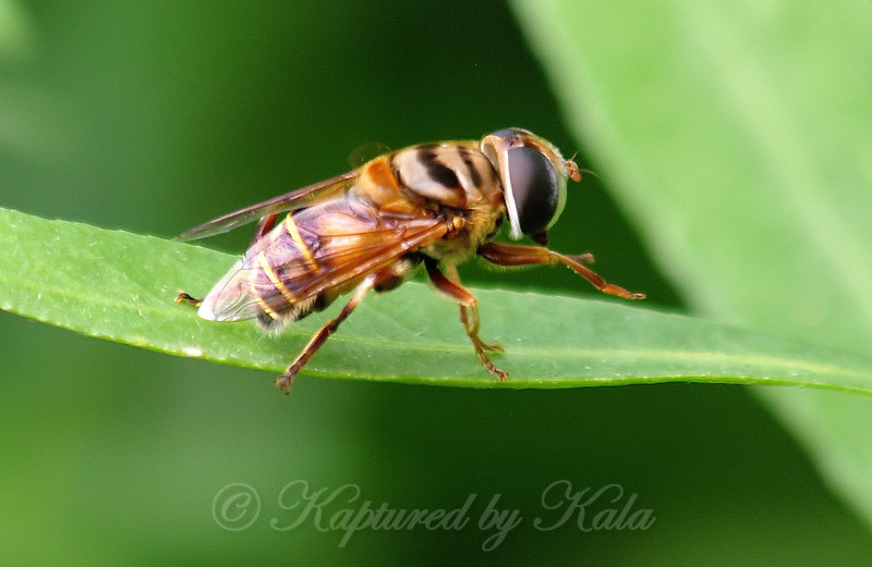 Side View Of A Flower Fly