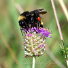 Bumble Bee On Purple Prairie Clover View 2