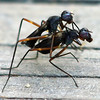 Complex Mating Rituals Of The Stilt-legged Fly  View 5