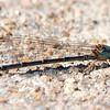 Unknown Narrow-winged Damselfly