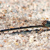 Unknown Narrow-winged Damselfly