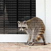 Curious, sick and confused raccoon caught looking into glass front doors of a home in broad daylight.