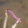Pink Dragonfly