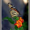 Monarch Butterfly on Lantana